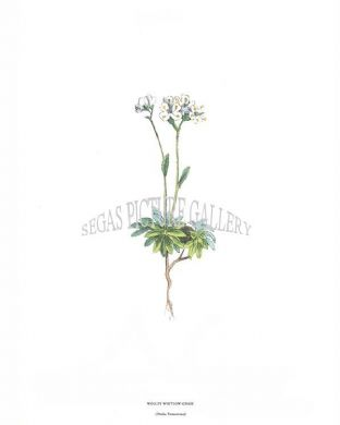 Wolley Whitlow-Grass (Draba Tomentosa)